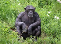 Two New Chimpanzees at the Zoo