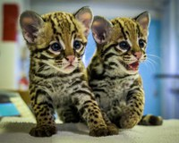 Zoo Celebrates Its First-Ever Ocelot Birth