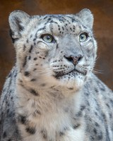 Zoo Says Goodbye to Azeo the Snow Leopard