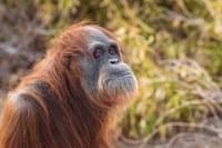 Zoo Says Goodbye to Memala the Orangutan