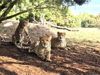 Zoo Welcomes 3 New Cheetahs