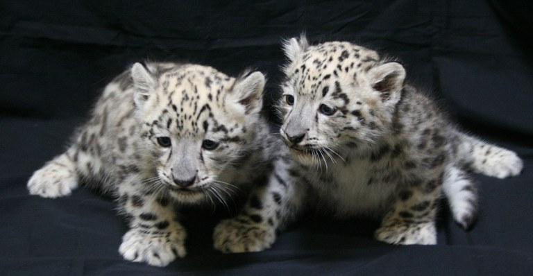 Snow Leopard Cubs 2011