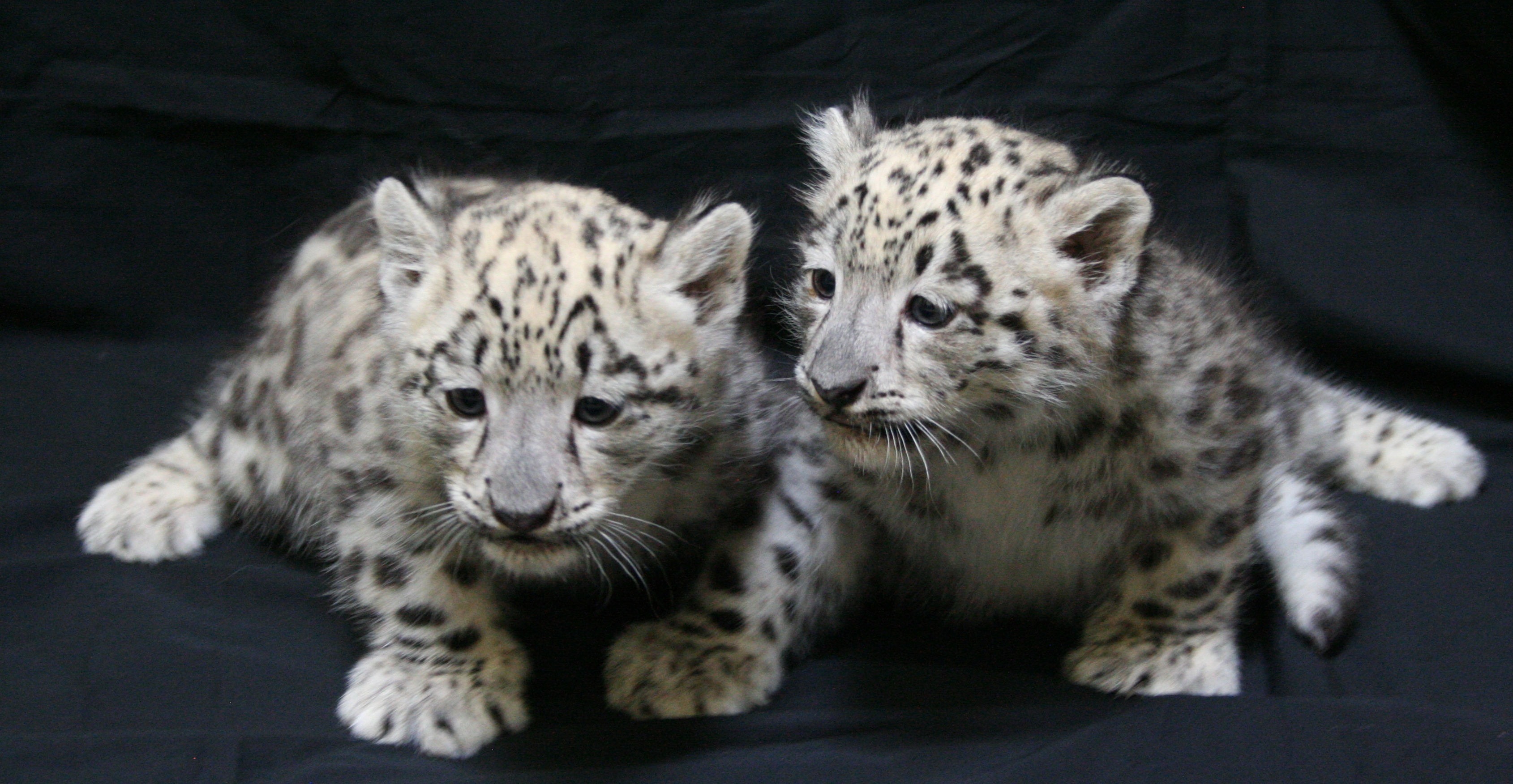 Snow Leopard Cubs 2011