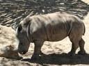 Chopper the rhino calf