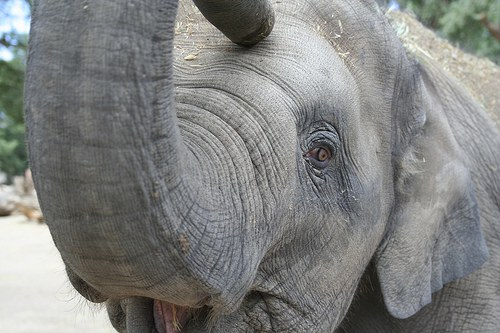 Daizy the Elephant at about 2-years-old