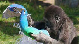 Gorilla enrichment