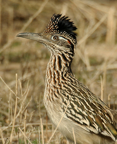 Roadrunner_Wayne Dumbleton/Flickr