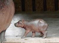 Hippo-baby.jpg