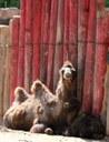 Baby Camel Kix
