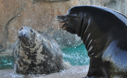 Photo courtesy of Orele Fisher. Seals & Sea Lions exhibit page.
