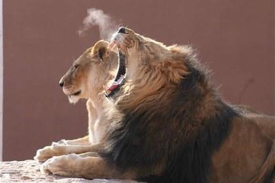 Lionyawning-GaryVanLuchene12_07.JPG