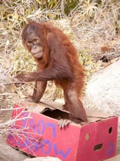 Orangutan enrichment