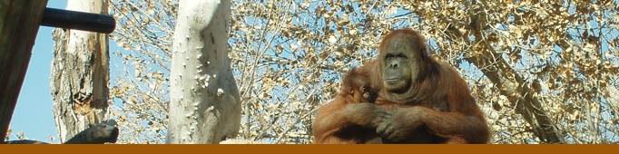 Orangutan Banner