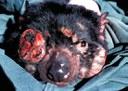 Tasmanian devil facial tumor