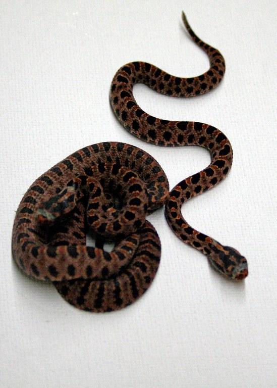 Pygmy Rattlesnakes