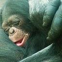 baby-chimp.jpg