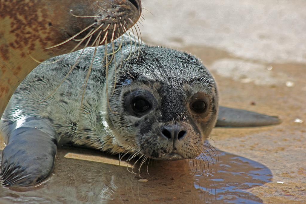 Seal Pup close