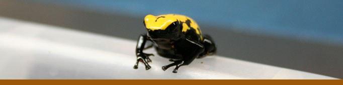 Dart Poinson Frog