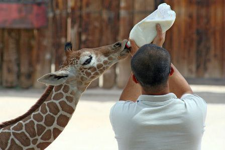 Baby_Giraffe_Feeding