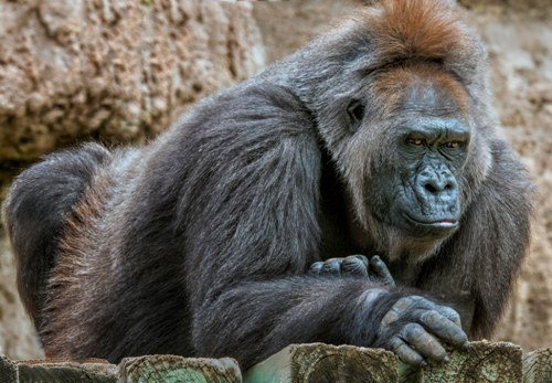 A gorilla at the zoo (ape exhibits).