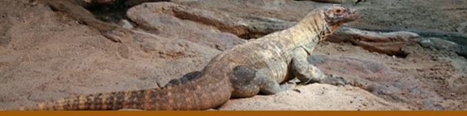 Komodo Reptile Banner