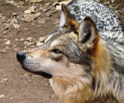 See lobos at the Zoo. Exhibit page photo courtesy of Tallan Melton..