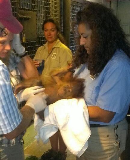 Orangutan Baby - August update