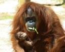 Baby Orangutan, 2013