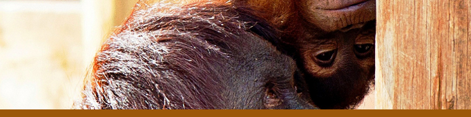 See Sumatran orangutans at the ABQ BioPark Zoo.