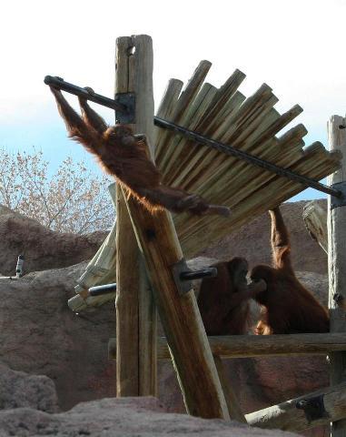 Reese and Orangutans