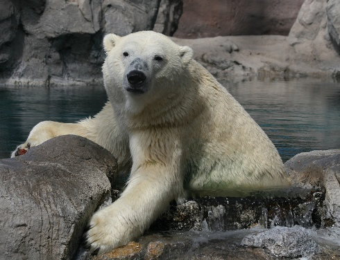 Visit the polar bears at Inukshuk Bay.