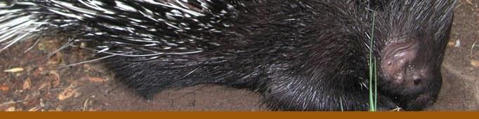 Porcupine banner