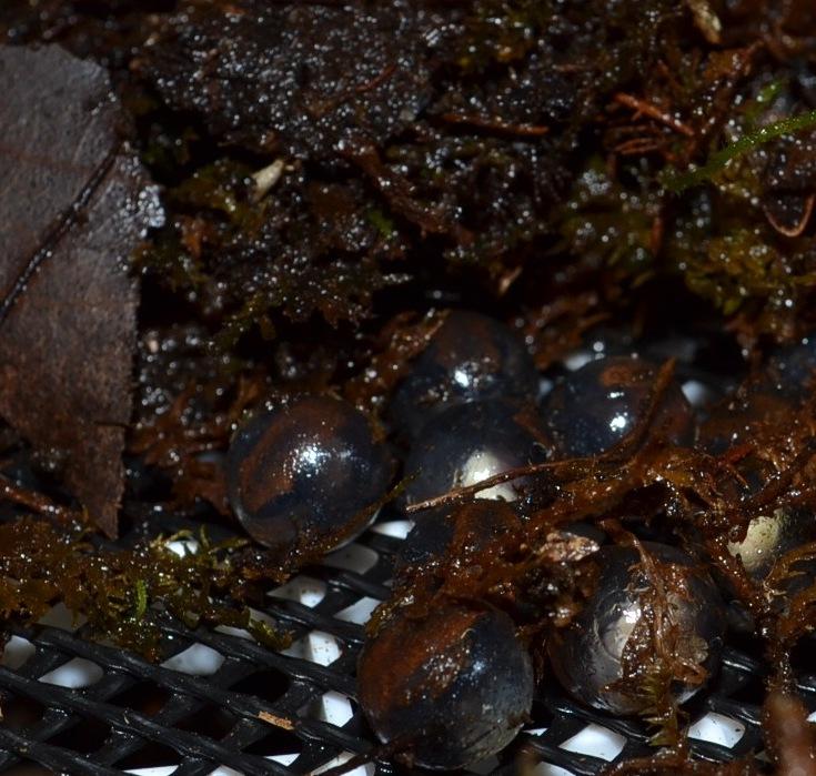 Coqui Froglets Ready to Hatch