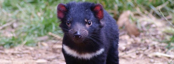 caption:Four Tasmanian devils are moving to Albuquerque this fall.