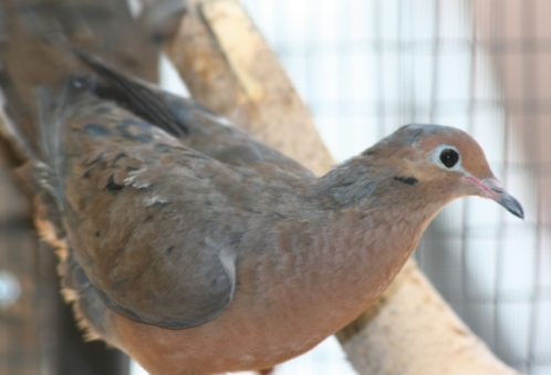 See Socorro doves in the Tropical America exhibit at the Zoo.