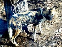 wilddog.jpg