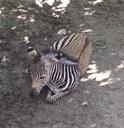 zebra-web.jpg