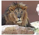 zo_lion.jpg
