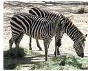 zo_zebra.jpg