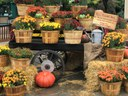 Harvest Days - Mums