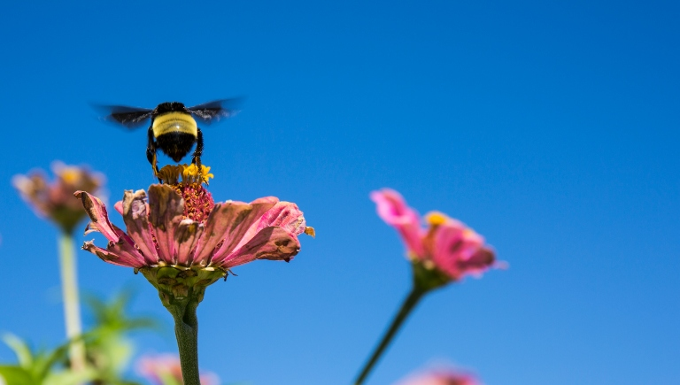 A bee pollinating a pink flower.