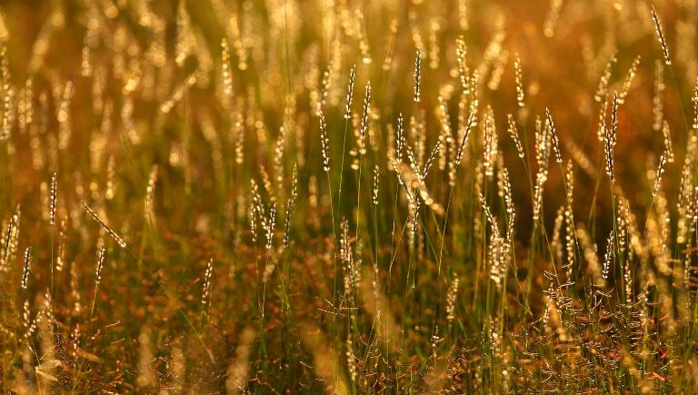 Golden Grass with Dew