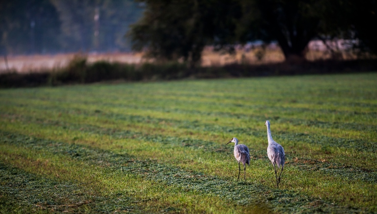 Sandhill cranes on a green pasture