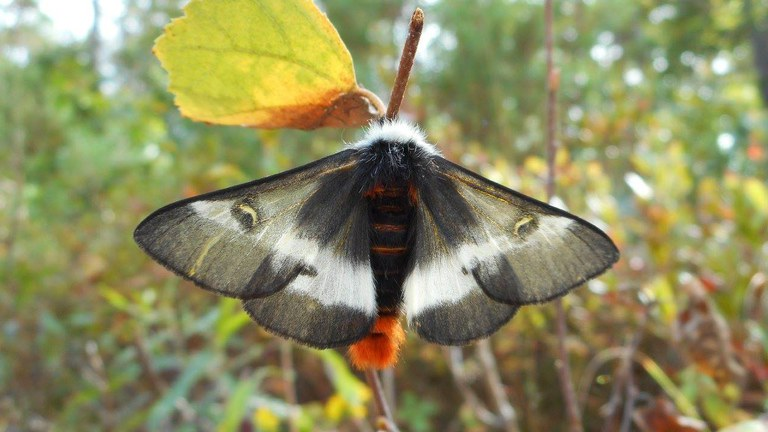 Pollination Celebration: Pollinators on the Nightshift: Moths and More!