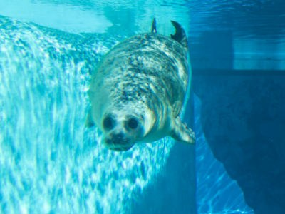 Image of a seal swimming at the ABQ BioPark zoo.