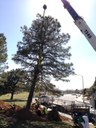 Moving the Pinon Pine