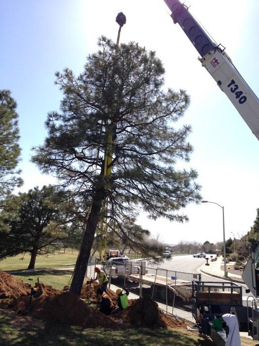 Moving the Pinon Pine