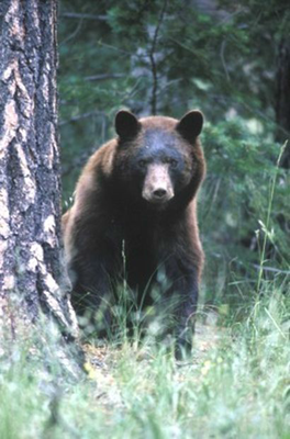 caption:Bear Photo for Living with Bears Info