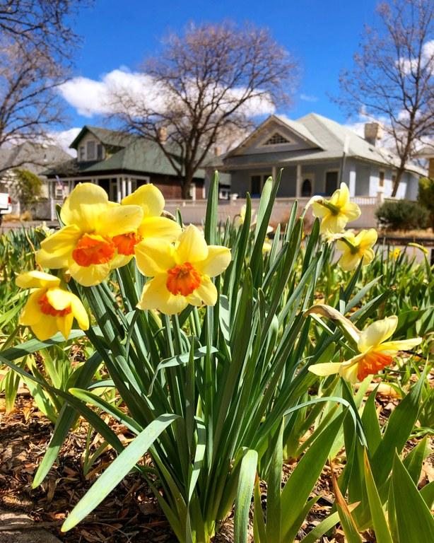 Daffodils Tile