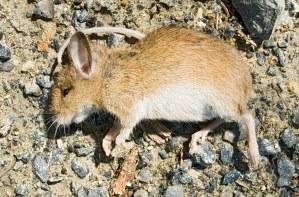 dead_mouse